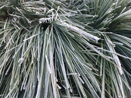 Pinselkiefer (Pinus schwerinii Wiethorst)
