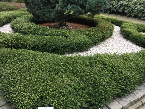 Ilex crenata 'Glorie Dwarf' - als Formschnitt im Vorgarten
