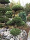 Wacholder Bonsai (juniperus hetzii)