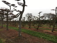 Lärchen Bonsai (Larix kaempferi)